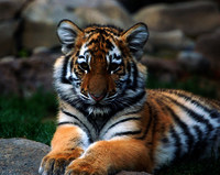 Tigers-animals-20238015-2493-1983